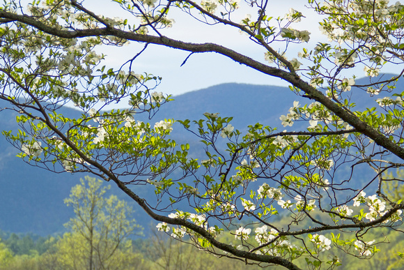 Dogwood in Cades Cove